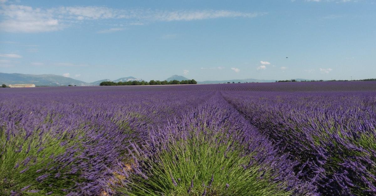 Valensole Lavender Fields_feature
